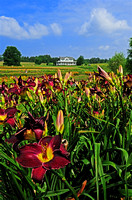 Oakes Day Lilies 1